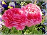 Twin Ranuncula by trixxie17, photography->flowers gallery