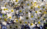 Dogwood Bumstead by 0930_23, photography->flowers gallery