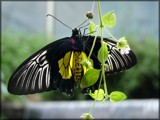 Hangin' Around in The Tropical Forest by LynEve, Photography->Butterflies gallery