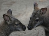 Kangaroos by Paul_Gerritsen, Photography->Animals gallery