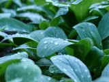 Young salad leafs with rain drops by foppa, Photography->Food/Drink gallery