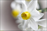 Spring Garden - Jonquils by LynEve, photography->flowers gallery