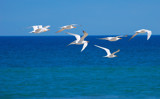 Terns by tweezer, Photography->Birds gallery
