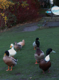 Duck Formation Dancing Team by braces, photography->birds gallery