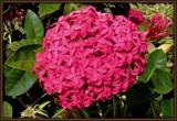 Ixora by trixxie17, photography->flowers gallery