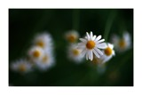 Daisy Daisy by JQ, photography->flowers gallery