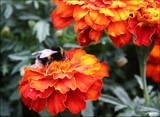 Marigolds & Bee by LynEve, Photography->Flowers gallery