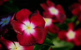 Crimson Periwinkle by Pixleslie, Photography->Flowers gallery
