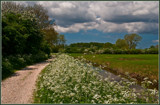 Hawthorns And Cow Parsley 1 by corngrowth, photography->landscape gallery