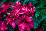 Pointsettia (3) by Pistos, photography->flowers gallery