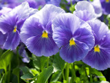 Atlas Blue Splash Pansy by Surfcat, Photography->Flowers gallery
