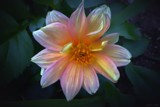 Dahlia Glow by LynEve, photography->flowers gallery