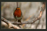 Robin by JQ, Photography->Birds gallery