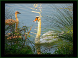 Swan Series #1 by G8R, Photography->Birds gallery