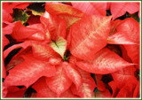 Coral Frost Poinsettia by trixxie17, holidays->christmas gallery
