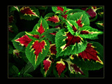 Colourful Coleus by LynEve, Photography->Nature gallery