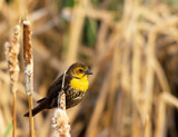 Yellow Headed Blackbird by doughlas, photography->birds gallery
