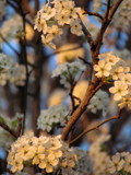 Sunset Tinted Apple Blossoms by Pistos, photography->flowers gallery
