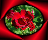 RED ROSE by pikman, Photography->Flowers gallery