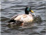 Rework - My Duck by scorpie, Photography->Birds gallery