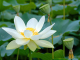 Lotus flower by Samatar, Photography->Flowers gallery