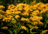 Goldenrod by trixxie17, photography->flowers gallery
