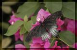 Butterfly Twelve by Jimbobedsel, Photography->Butterflies gallery