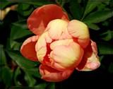 Peony Bud by trixxie17, photography->flowers gallery