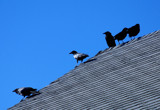 five crows on a roof by solita17, Photography->Birds gallery