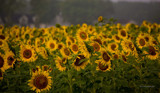 Sun for V by avedeloff, photography->flowers gallery