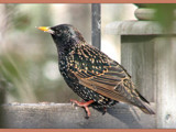 I'm A Starling Darling by scorpie, Photography->Birds gallery
