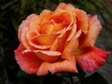 Just a rose at twilight . . . . by LynEve, photography->flowers gallery