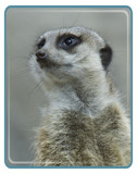 Portrait of a Meerkat by garrettparkinson, Photography->Animals gallery