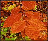 Autumn Color - Copper Leaves by trixxie17, photography->landscape gallery