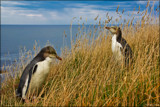 Yellow-eyed Penguins by LynEve, photography->birds gallery