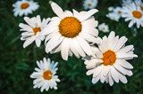 Daisies by Eubeen, photography->flowers gallery