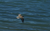 Mid-Flight 1 (Widescreen) by cristovao12, Photography->Birds gallery