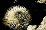Silversword by rforres, photography->nature gallery