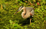 Simplified Heron by Jimbobedsel, photography->manipulation gallery
