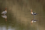 American Avocet by jeenie11, photography->birds gallery