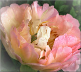 Paeony showing her heart by LynEve, photography->flowers gallery
