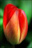 It's Tulip Time ! by LynEve, photography->flowers gallery