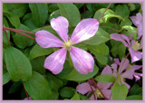 Dappled Pink Clematis by trixxie17, Photography->Flowers gallery