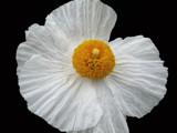 giant poppy by jeenie11, Photography->Flowers gallery