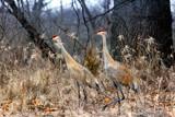 Image: Two Cranes