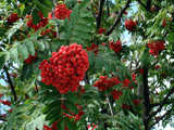 Mountain Ash by phasmid, Photography->Macro gallery