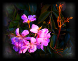 Geranium at sunset by LynEve, photography->flowers gallery