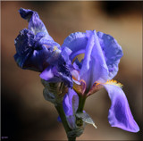 The Iris in Bloom by tigger3, photography->flowers gallery