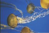 Jellyfish by Mauntnbeika, Photography->Macro gallery
