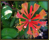 Golden Flame Honeysuckle by trixxie17, photography->flowers gallery